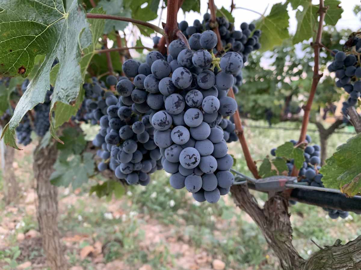barraca entre vinyes